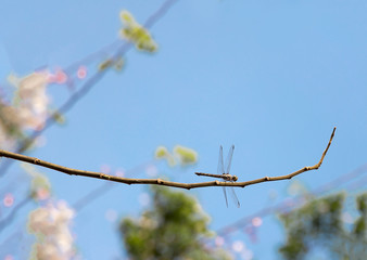 dragonfly insect catching branch of tree on blue sky
