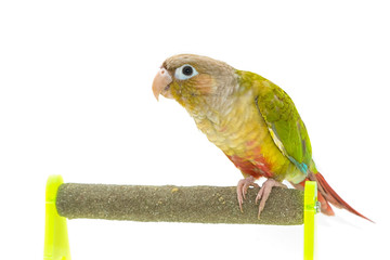 Green-cheeked conure bird on branch