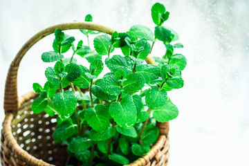 Leaves of fresh green mint in a wicker basket. A bunch of peppermint on the window
