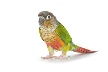 Green-cheeked conure bird on white background