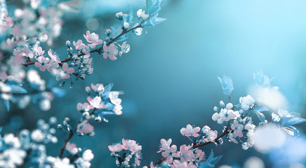 Photo sur Plexiglas Fleur de cerisier Beautiful floral spring abstract background of nature. Branches of blossoming apricot macro with soft focus on gentle light blue sky background. For easter and spring greeting cards with copy space.