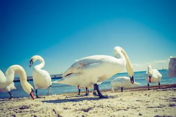 Swans walking on beach