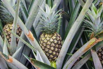 Pineapple growing in farm