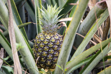 Pineapple growing in farm