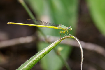 Image of Ceriagrion coromandelianum dragonfly (male) on green leaves. Insect Animal.