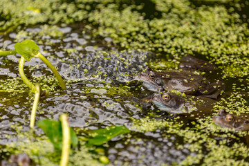 Frogs & spawn 1