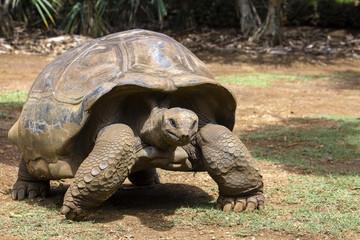 Giant turtles, dipsochelys gigantea in island Mauritius , Close up
