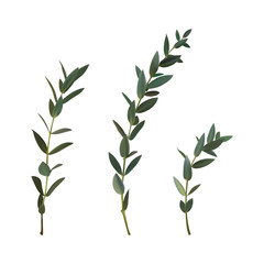 Thyme leaf green vector isolated medicinal set of leaves for the