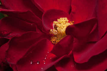 Inner space beautiful rose is growing in the spring garden. Close up.