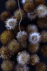 fleur séchées  semences