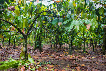 Beautiful cocoa farm