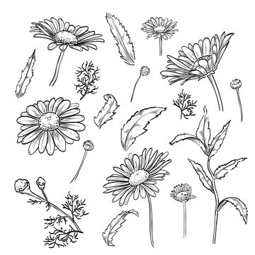 Hand drawn elegant chamomile flowers