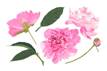 Set of peonies. Vector illustration. Watercolor style