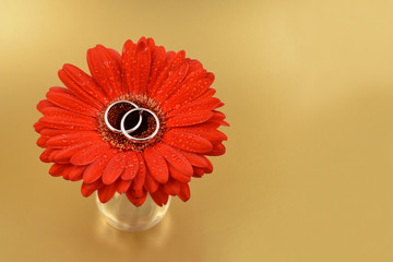 Wedding rings with a flower stock images. Wedding rings on a golden background. Red gerbera with engagement rings. Red gerbera on a golden background