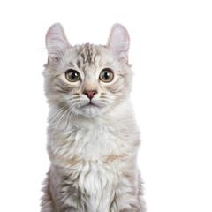 Head shot of Chocolate silver tortie tabby American curl cat / kitten  isolated on white background