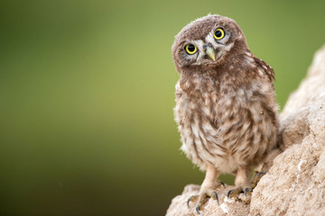 Fototapete - Young little owl (Athene noctua) stands near his hole.