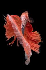 Foto op Canvas Vissen Halfmoon Betta Fish