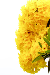 Close up Silver trumpet tree, Tree of gold, yellow flower.,Tabebuia aurea on white background