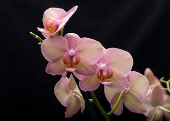 Pastel orchid flower isolated on black background