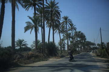 A man rides a motorcycle near date palm trees at a farm in Kerbala