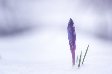 First spring flowers - violet crocus or saffron in the snow, nature background, strength and will concept