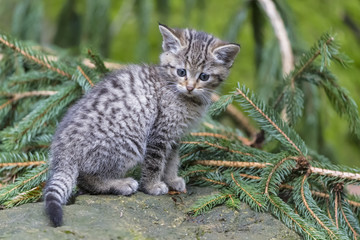 Germany, Bavarian Forest National Park, animal Open-air site Neuschoenau, wild cat, Felis silvestris, young animal