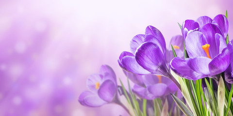 Nature background with crocus