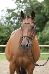Horse outside with bridle portrait