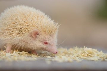 Albino porcupine lying on the ground floor. Animal in Naturally portrait style on wooden table. Soft focus. (African Pgymy Hedgehogs)