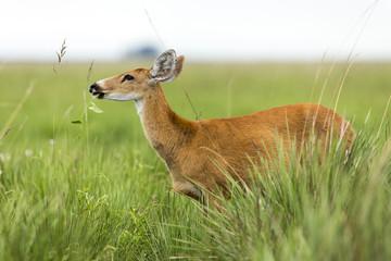 Female Marsh Deer (Blastocerus dichotomus)