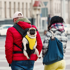 Pug in a sling, baby carrier for cute dog