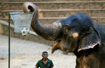 An elephant plays basketball during a show at the national zoological gardens in Colombo