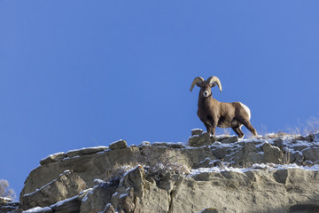 A lone big horn sheep in Yellowstone National Park