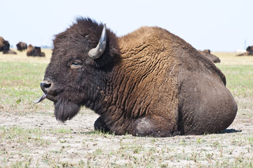 Foto op Plexiglas Bison Big bison in the steppe