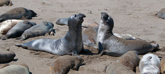 Northern Elephant Seals fighting at the Piedras Blancas Elephant seal colony on the Central Coast of California USA