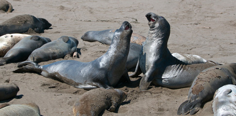 Young Northern Elephant Seals fighting at the Piedras Blancas Elephant seal colony on the Central Coast of California USA