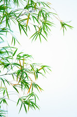 Young bamboo leaves swinging in wind representing the flowing of qi energy