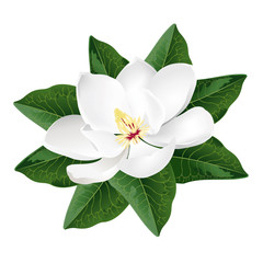 Magnolia flower. Realistic vector illustration isolated on white background.