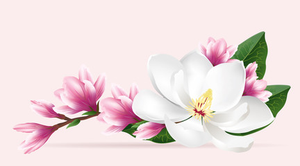 Pink magnolia flowers. Realistic vector brush illustration of two blloming magnolia branches isolated on light background.