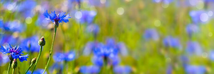Fototapeta kornblumen in der sommerwiese obraz