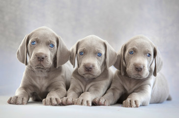 three puppies of weimaraner on lying on grey background