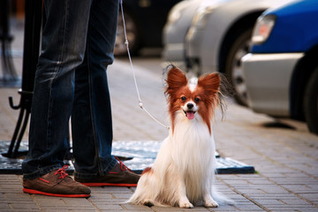 sharp dress man in jeans and moccasins  walking down the empty street with his small companion dog. Papillon bright butterfly dog from the courts of Europe