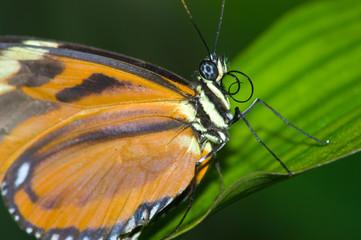 den butterfly