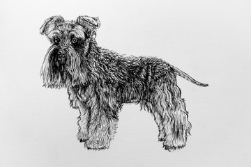 Ink drawing of a schnauzer dog