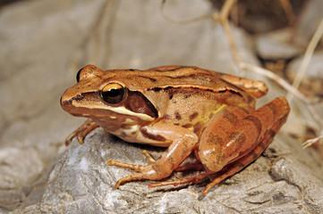 Springfrosch (Rana dalmatina) - Agile frog
