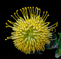 Natural still life colorful floral macro portrait of a single isolated yellow green protea / pincushion blossom in natural colors seen from the top on black background