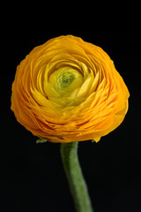 Detailed fine art still life color macro flower portrait of an isolated single orange yellow green blooming buttercup blossom with stem,black background,taken in spring/ summer,detailed texture