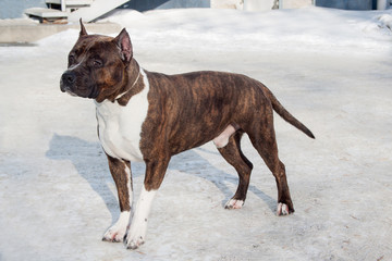 American staffordshire terrier puppy is standing on a white snow. Ten month old.
