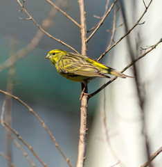 Little Yellow Bird, Chamariz - Serinus Serinus.