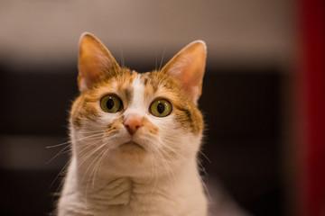 chat au regard curieux